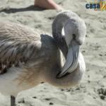 fenicotteri avvistati sulle spiagge di casal velino