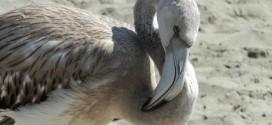 Foto – Fenicotteri in Spiaggia a Casal Velino